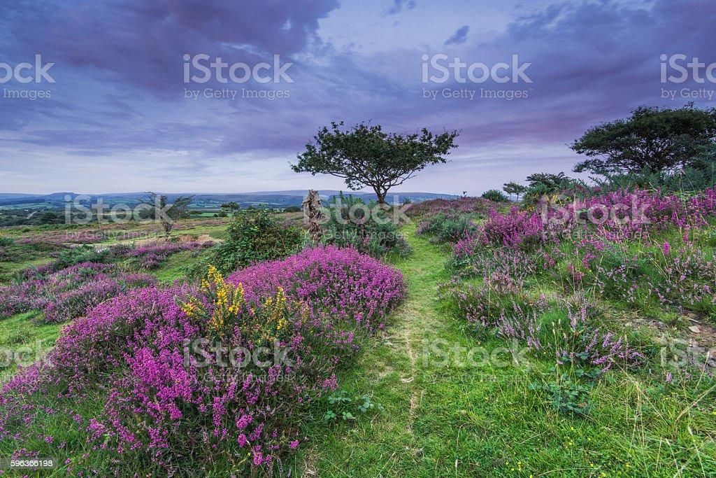 wild heather blooming in heathland in autumn stock photo