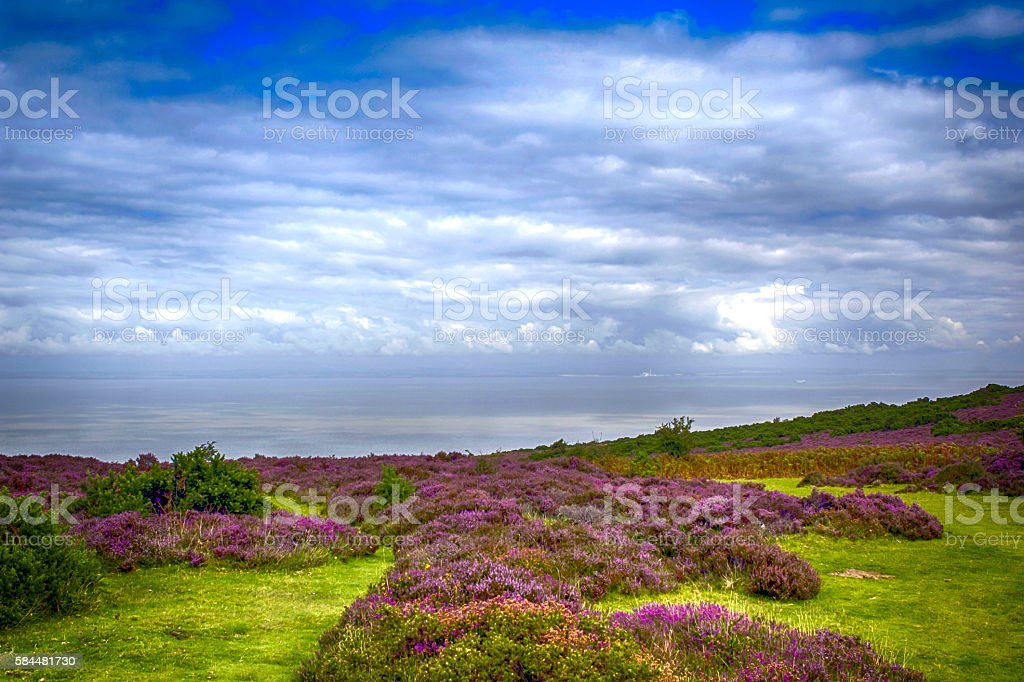 Wild Heather flowers on Exmoor in North Devon, UK stock photo