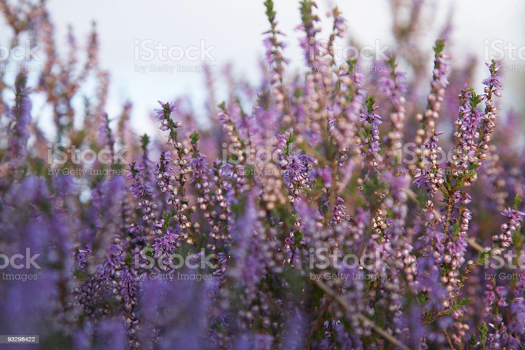 Wild heather royalty-free stock photo