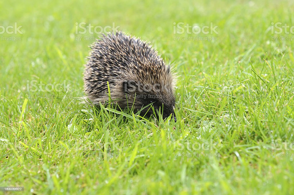 wild hedgehog on grass royalty-free stock photo