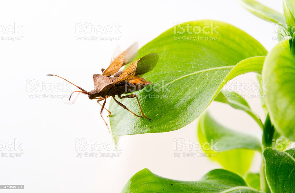 Wild hemiptera royalty-free stock photo