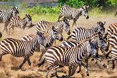 Wild herd of zebras flees in central Serengeti / Tanzania.