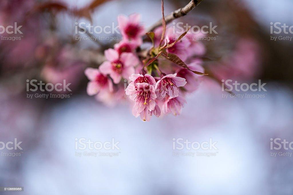 wild Himalayan Cherry flower (Prunus cerasoides) stock photo