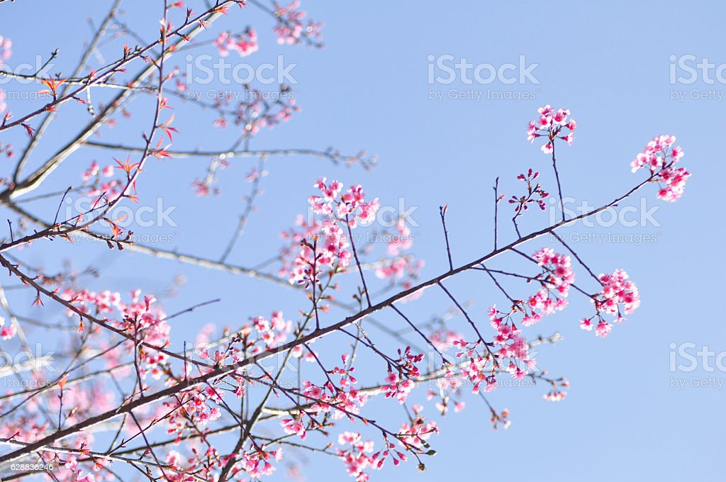 Wild Himalayan Cherry in selective focus point stock photo