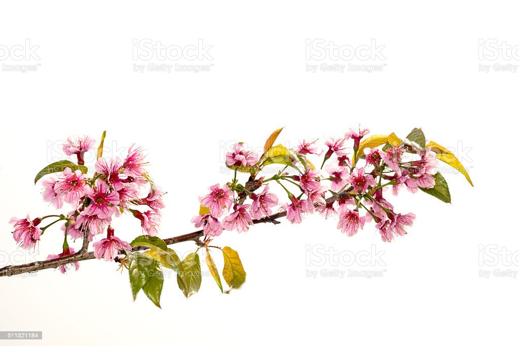 Wild Himalayan Cherry (Prunus Cerasoides) isolate on white background stock photo