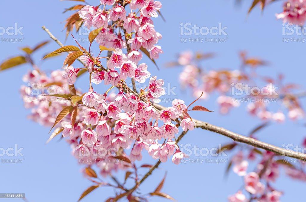 Wild Himalayan Cherry royalty-free stock photo