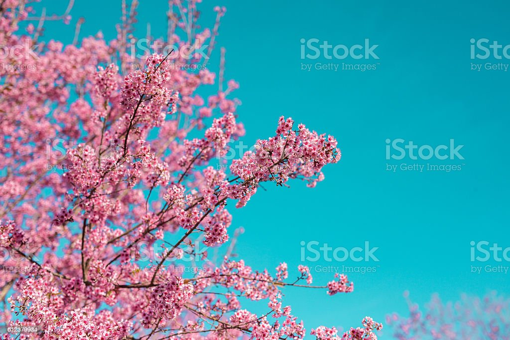 Wild Himalayan Cherry , Sakura , Cherry Blossoms grows in the mo stock photo