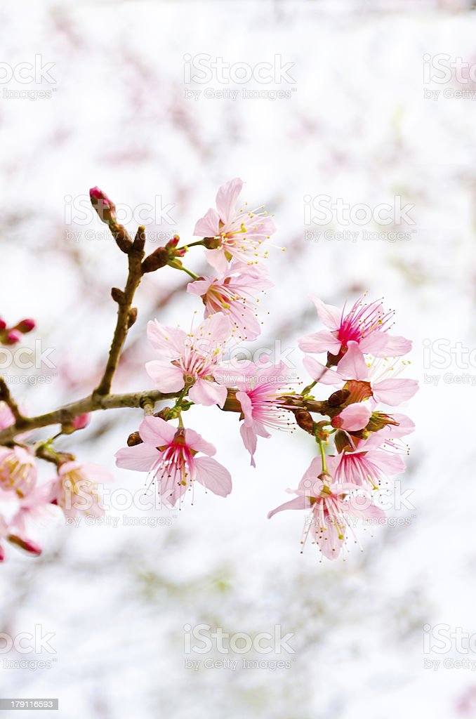 Wild Himalayan , Prunus cerasoides royalty-free stock photo