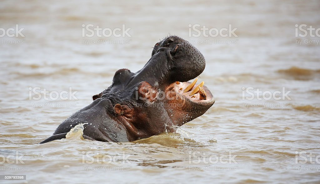 wild hippo near St.Lucia, South Africa. stock photo