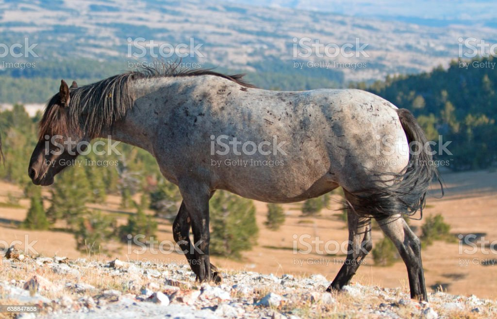 Wild Horse Blue and Red Roan colored Band Stallion stock photo
