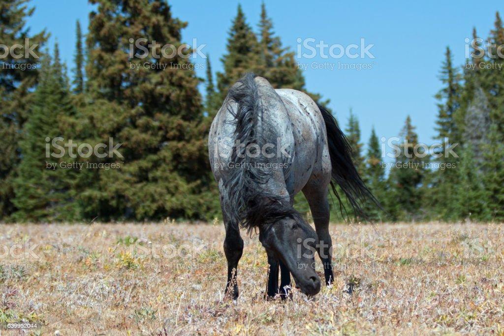 Wild Horse Blue Roan Stallion in snaking posture stock photo