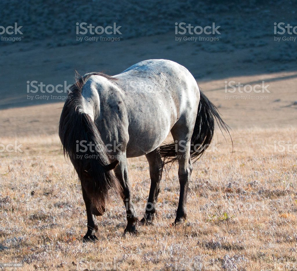 Wild Horse Blue Roan Stallion on Sykes Ridge Teacup Bowl stock photo