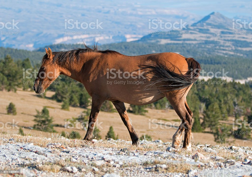 Wild Horse Dun Buckskin Mare with tailing blowing in wind stock photo