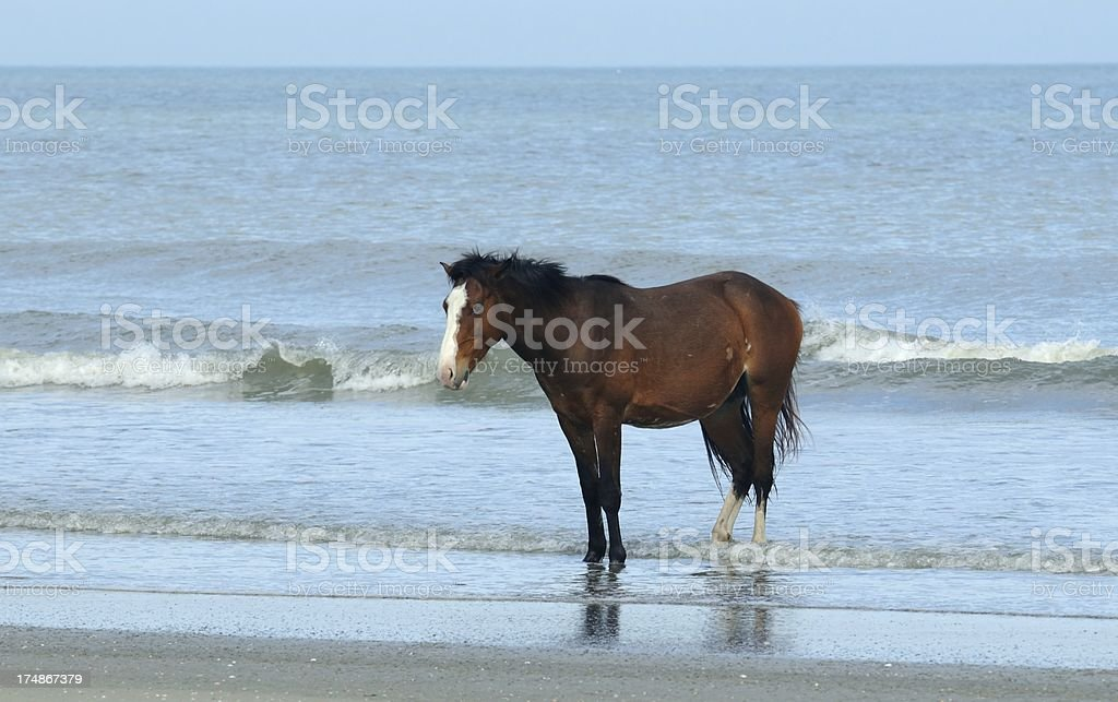 Wild horse enjoys the Atlantic Ocean royalty-free stock photo