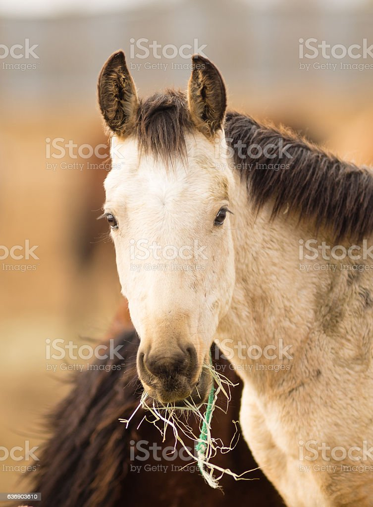 Wild Horse Face Portrait Close Up American Animal stock photo