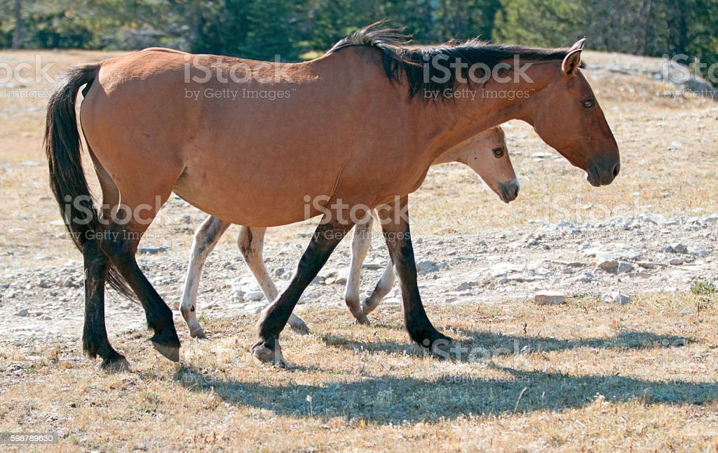 Wild Horse Foal with Dun Mare Mother in Montana Mountains stock photo