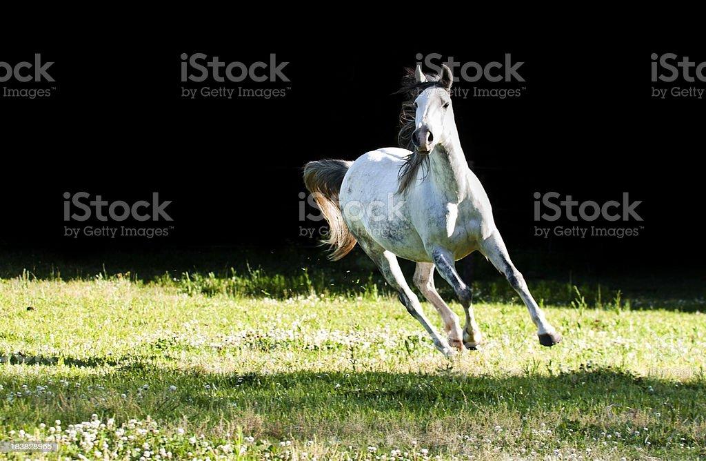 Wild horse galloping royalty-free stock photo