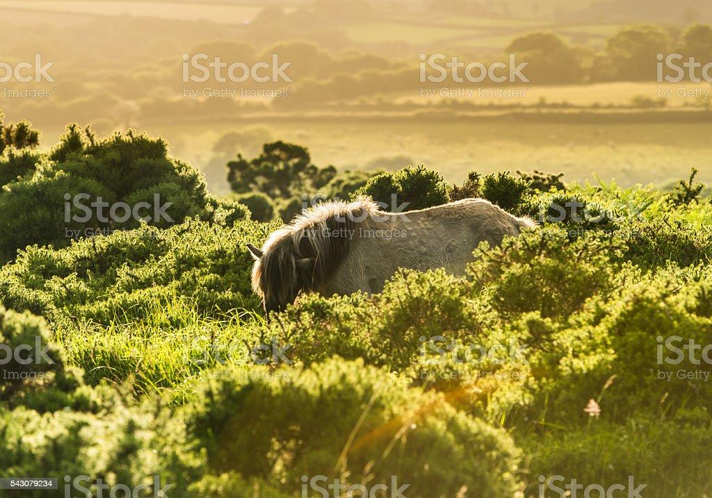 wild horse grazing in moorland stock photo
