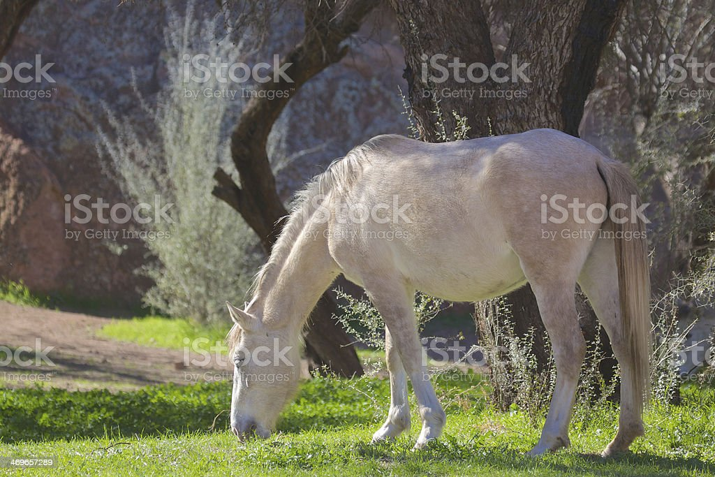 Wild Horse Grazing stock photo