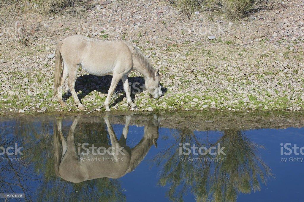 Wild Horse Grazing stock photo