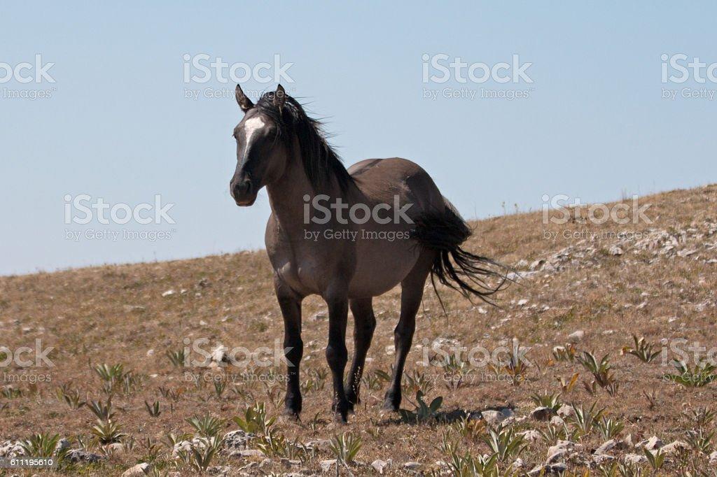 Wild Horse Grullo Stallion on Sykes Ridge stock photo