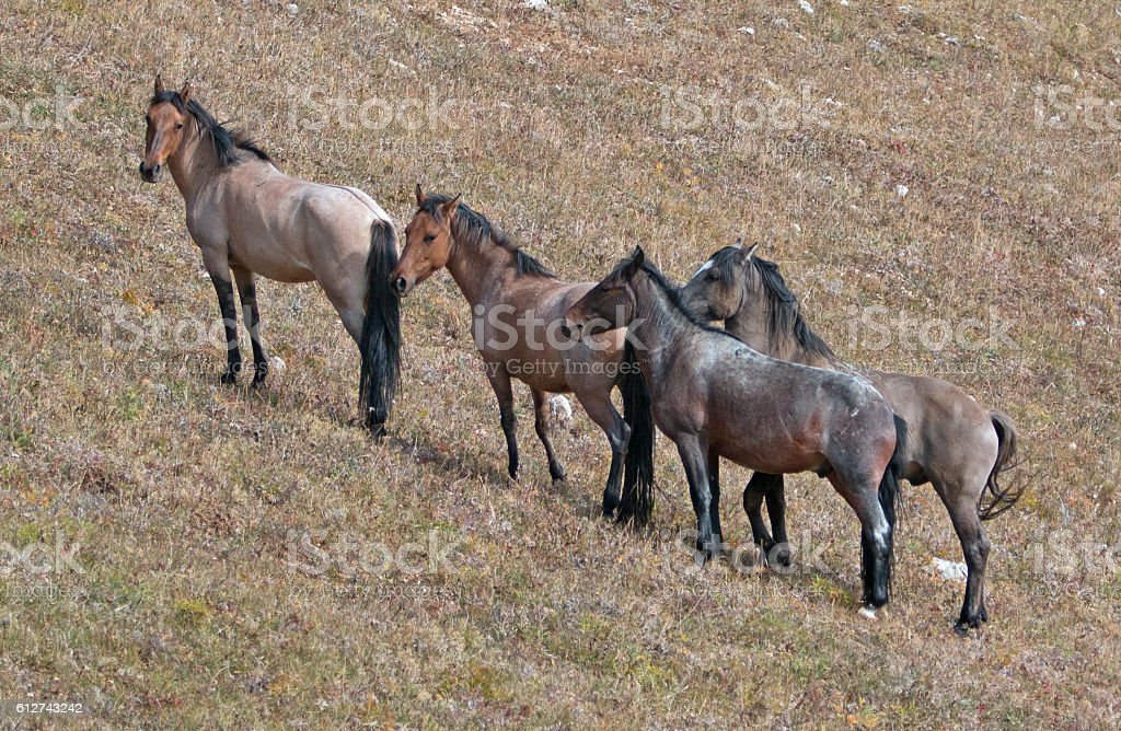 Wild Horse Herd together on Sykes Ridge in the Pryors stock photo