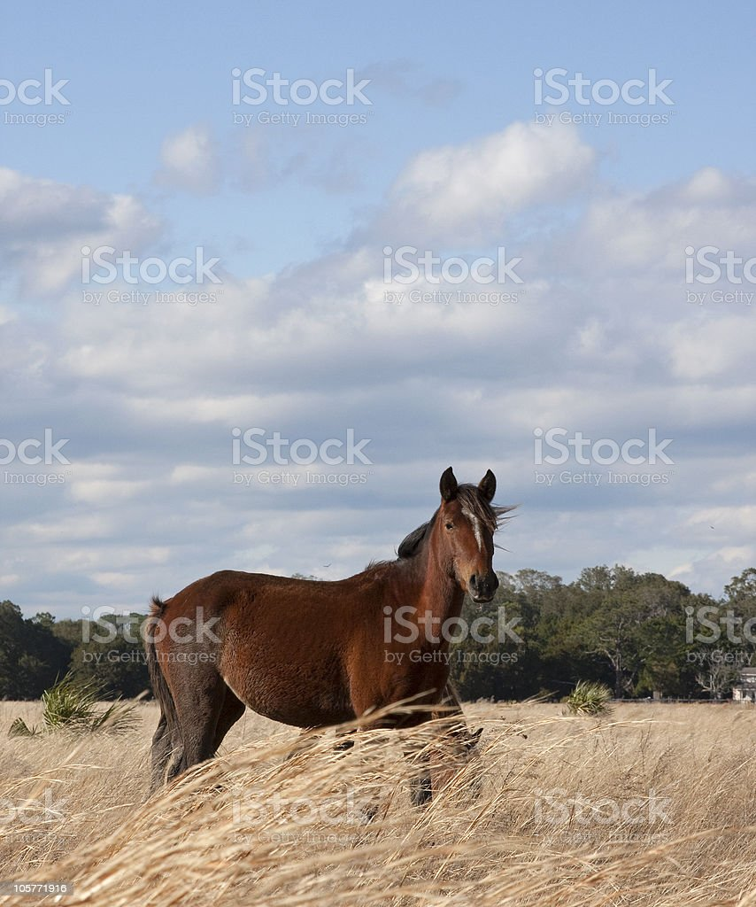 Wild Horse in a Field stock photo