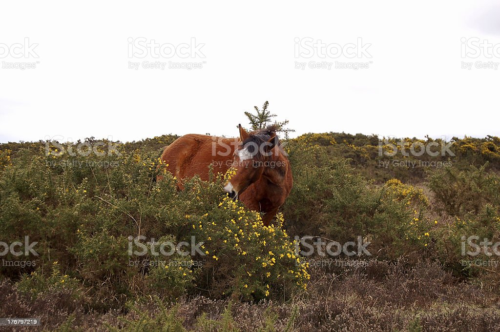 Wild Horse in the New Forest royalty-free stock photo