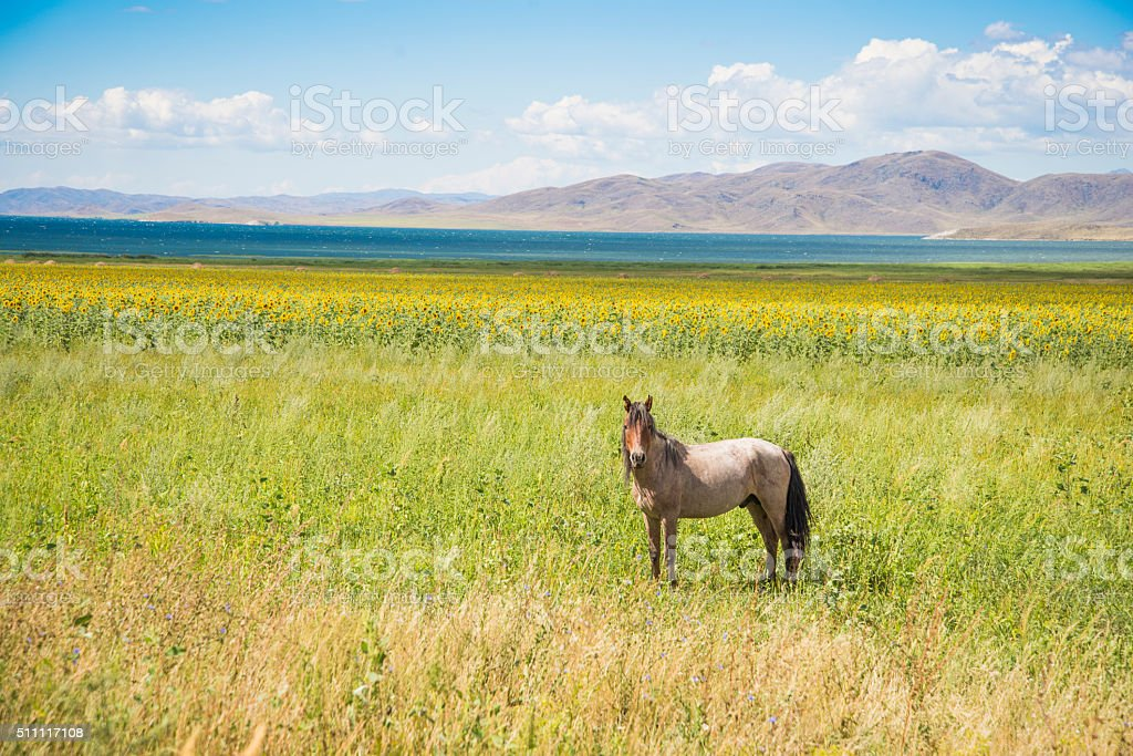 Wild horse on the shore of the reservoir Bukhtarma. stock photo