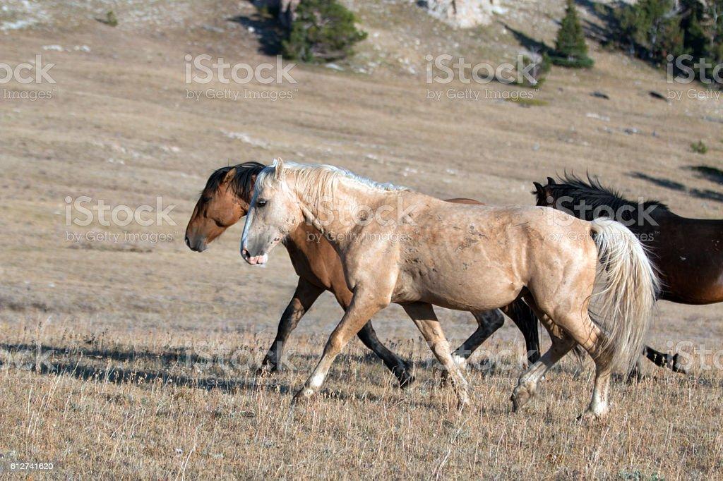 Wild Horse Palomino and Bay stallions walking together Sykes Ridge stock photo