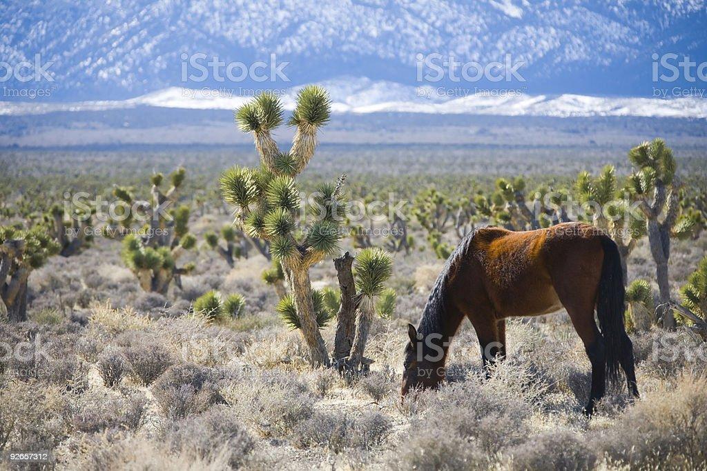 Wild Horse foto stock royalty-free