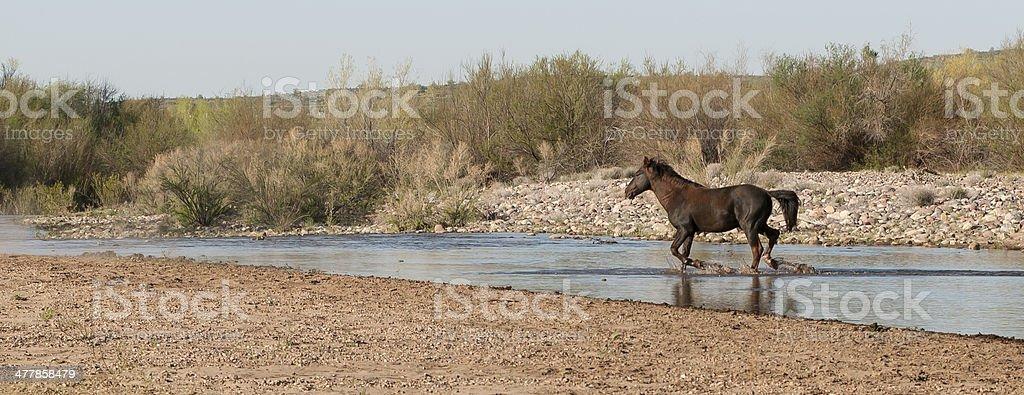 Wild Horse Running across the Salt River royalty-free stock photo
