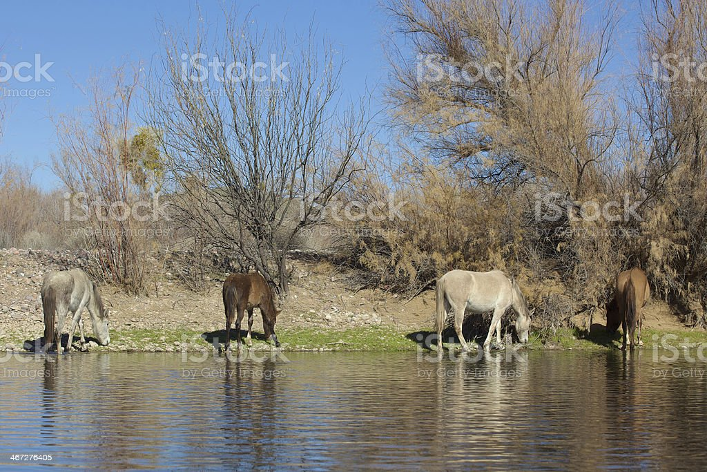 Wild Horses Along Salt River stock photo