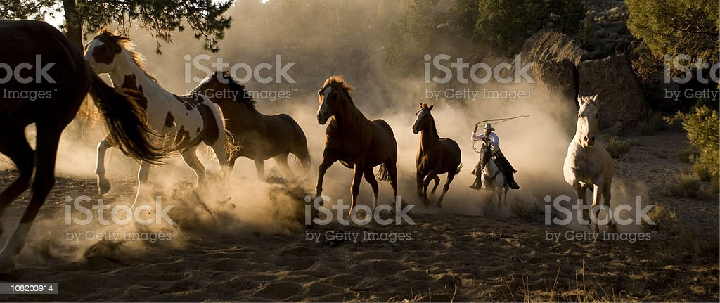 Wild Horses Being Chases by Cowboy with Lasso stock photo