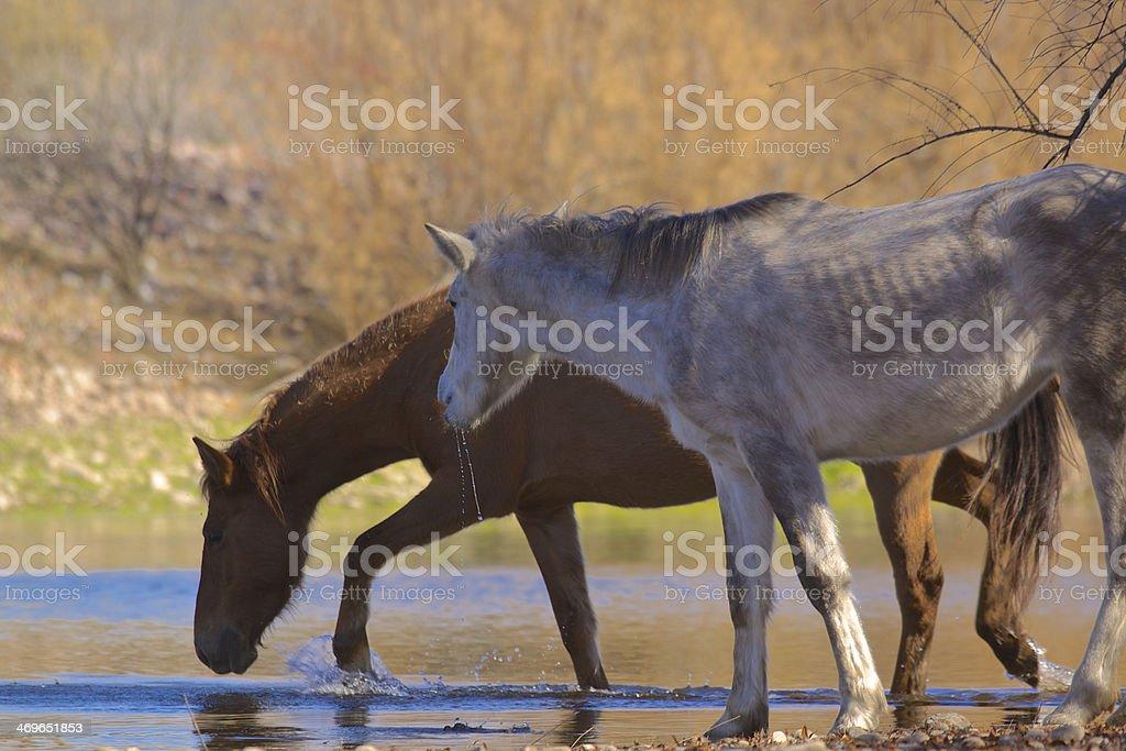 Wild horses Crossing Salt River stock photo