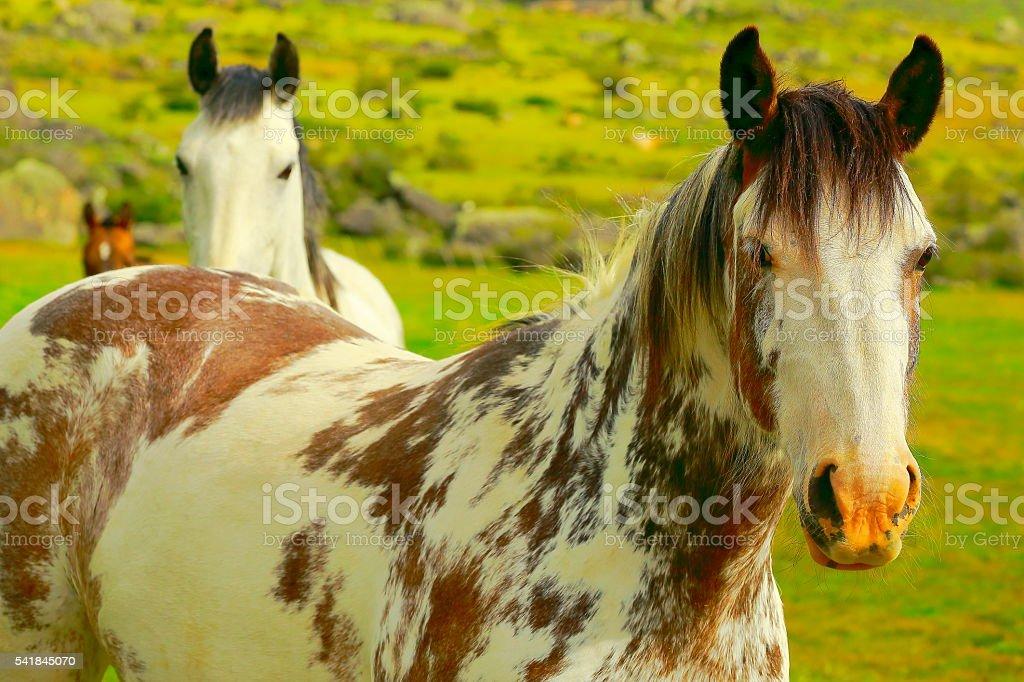 Wild horses, Estancia in pampa meadows, patagonia, Argentina stock photo