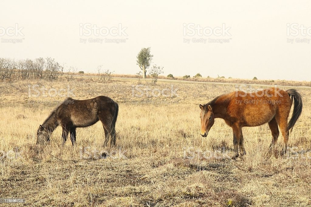 wild horses foraging heathland new forest national park winter royalty-free stock photo