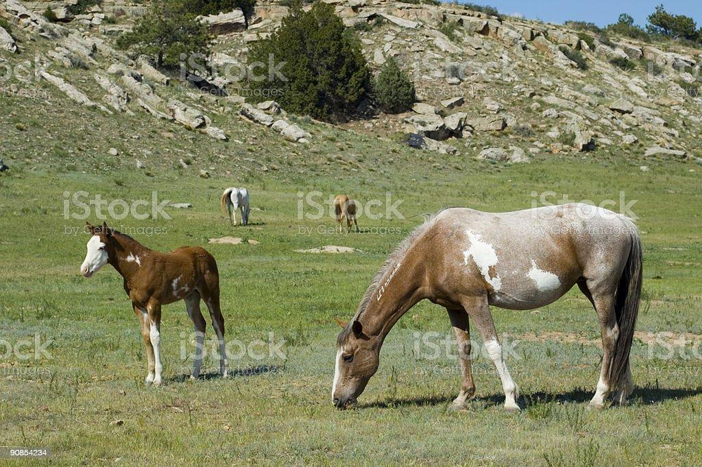 Wild Horses from Black Hills Sanctuary royalty-free stock photo