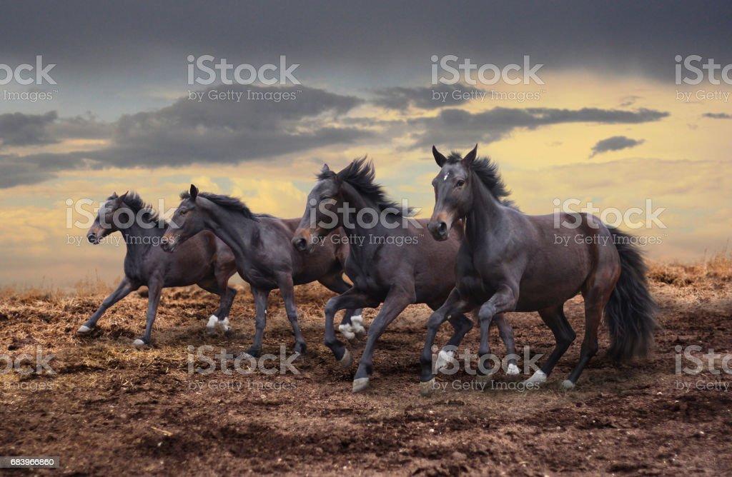 Wild horses gallop stock photo