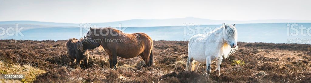 Wild horses grazing on remote heather covered mountain ridge panorama stock photo