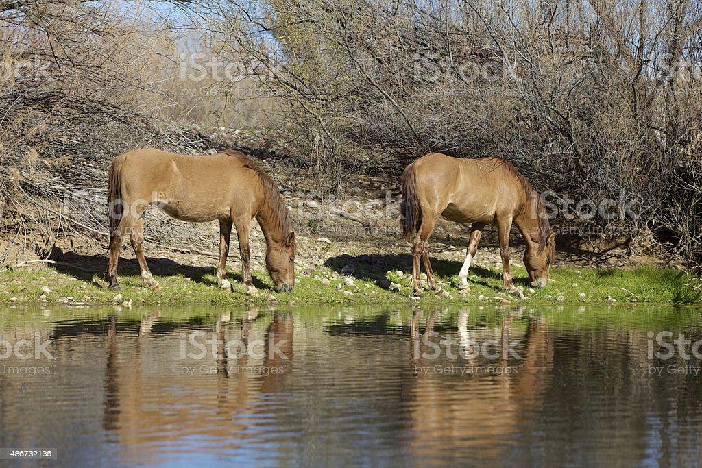 Wild Horses Grazing stock photo