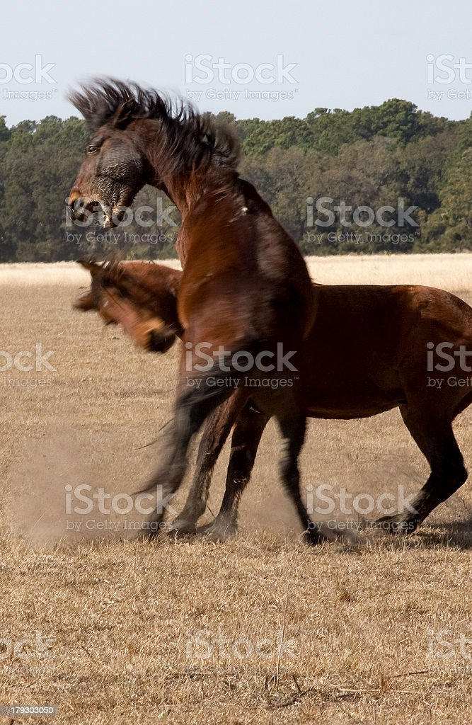 Wild Horses in a duel stock photo