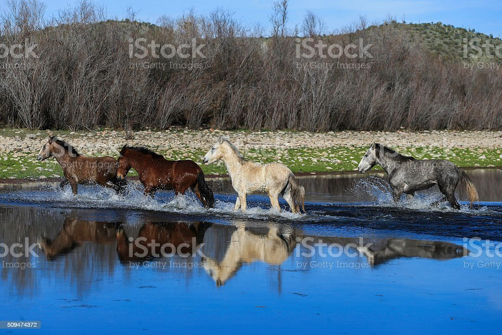 Wild Horses in a River. stock photo
