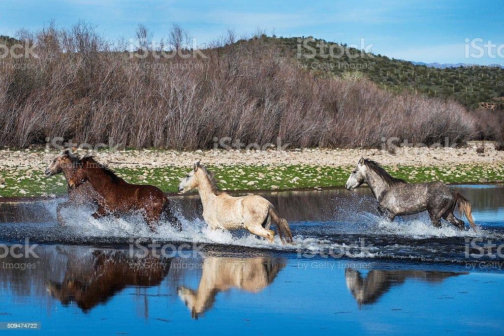 Wild Horses in a Stream. stock photo