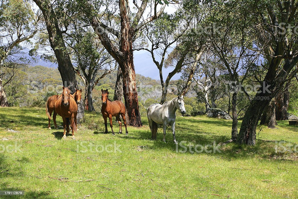 Wild horses in meadow stock photo