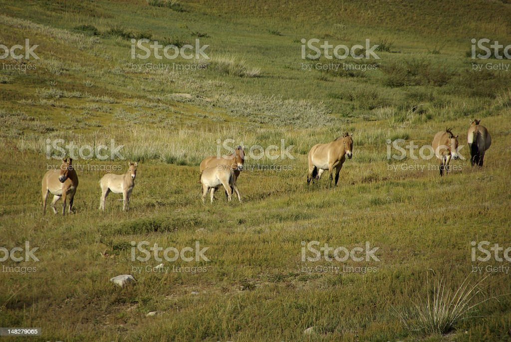 Wild horses in Mongolia stock photo