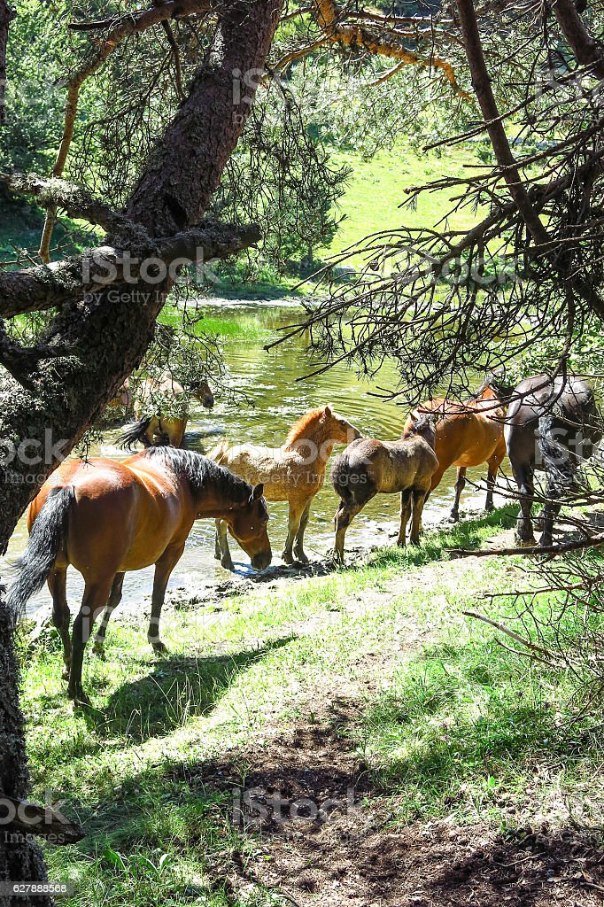 Wild horses in the Catalan Pyrenees, Spain stock photo