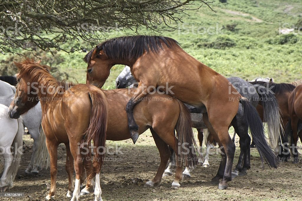 wild horses mating new forest national park stock photo