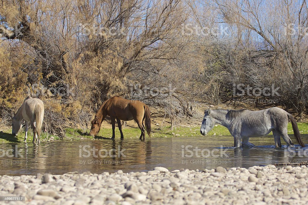 Wild Horses on the Salt River Arizona stock photo