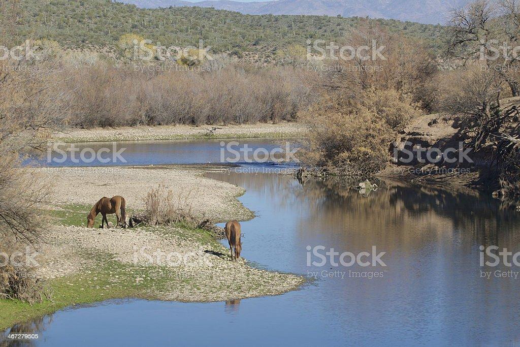 Wild Horses on the Salt River stock photo